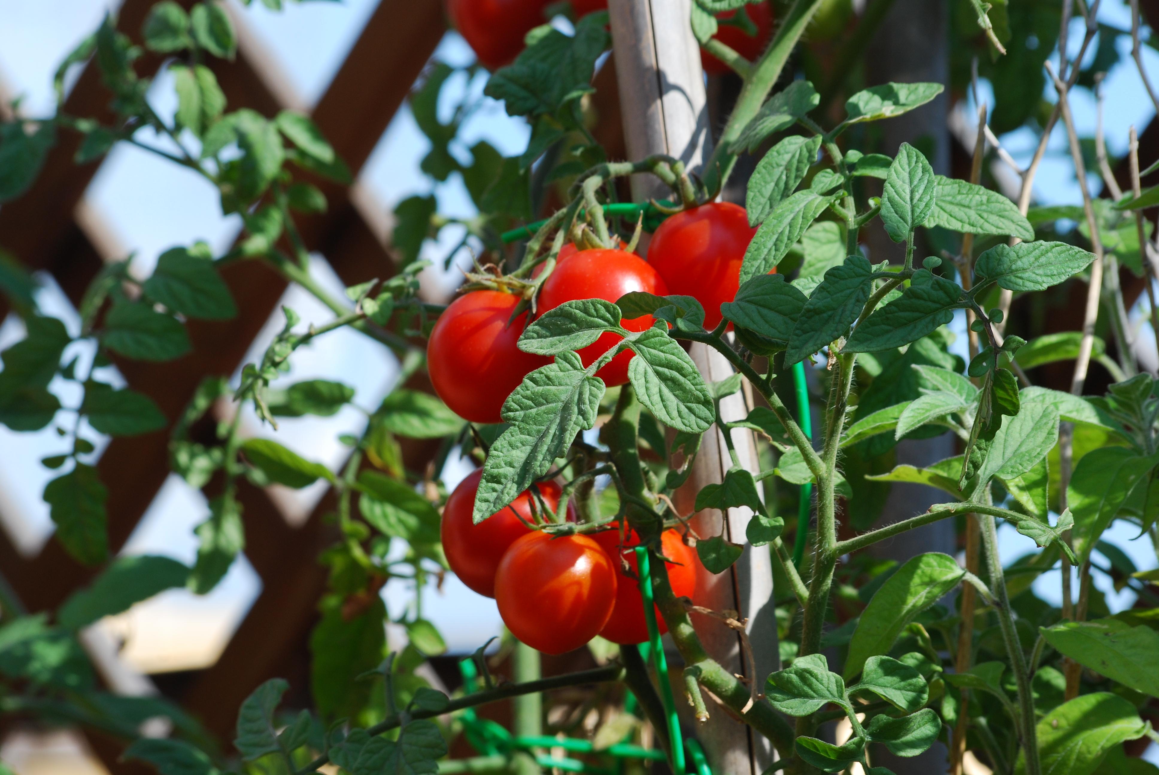 Come Coltivare Pomodori Sul Balcone come coltivare i pomodori in vaso | verde-natura