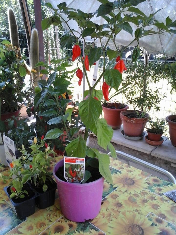 Come coltivare i peperoncini in vaso verde natura for Coltivare sul balcone