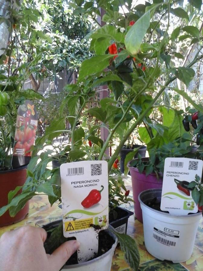 Come coltivare i peperoncini in vaso