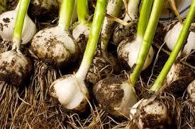 Come coltivare l'aglio in vaso