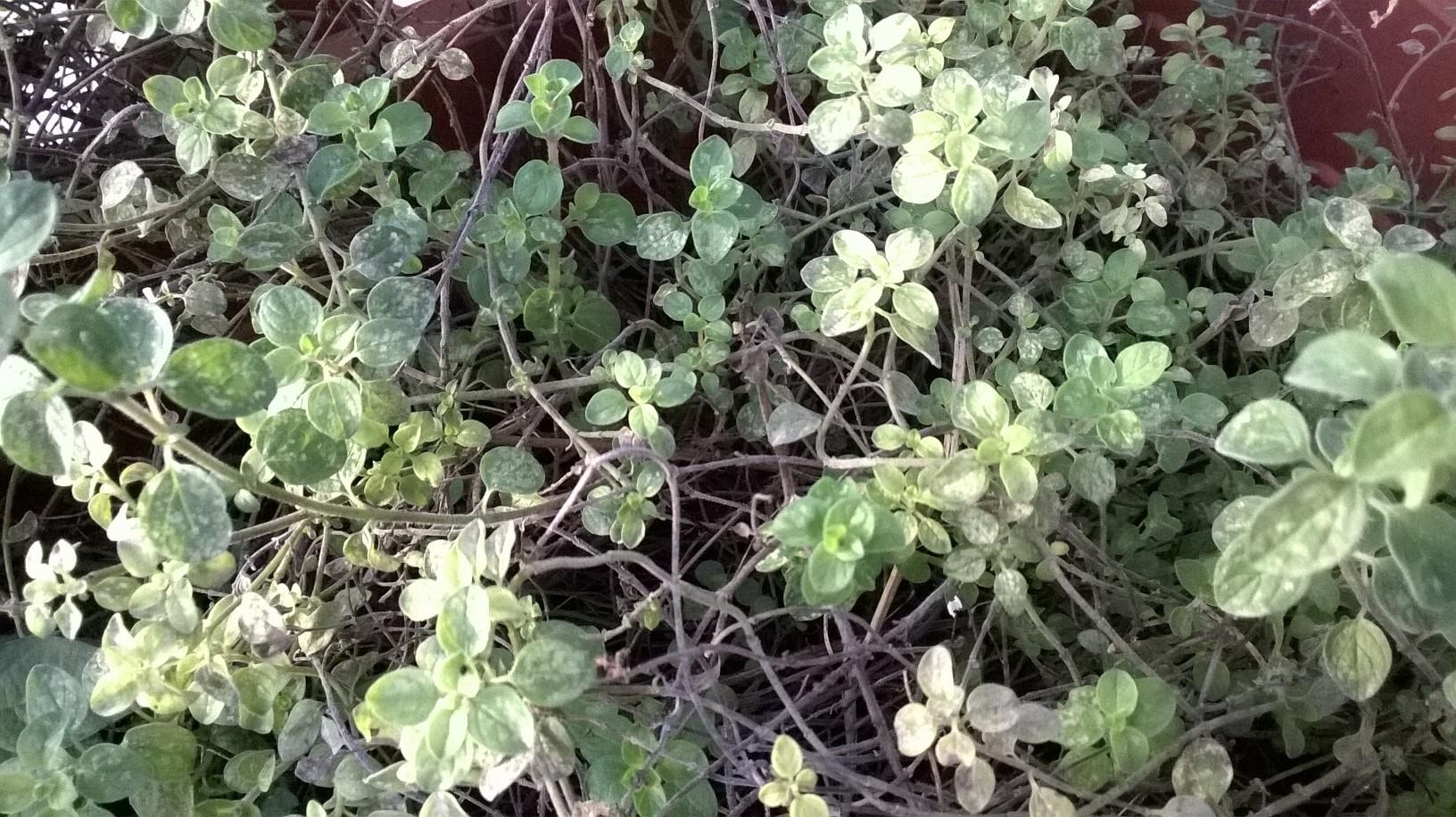 I Benefici Dell Origano Verde Natura