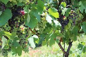 Il Vino parte seconda: la Vite e la vinificazione